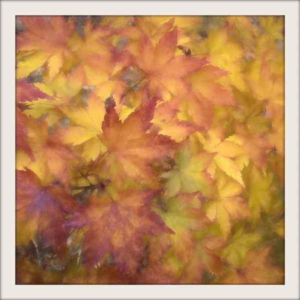 Maple Dream by Philip_H