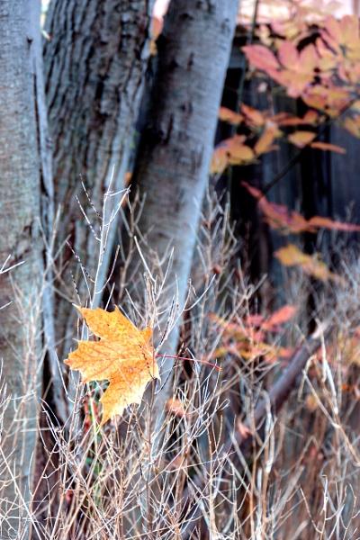 Golden leaf by manicam