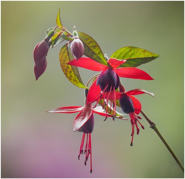 Fuchsia by capto