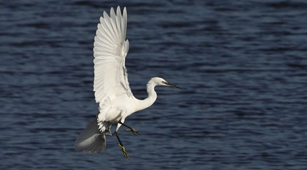 Little Egret. by guern