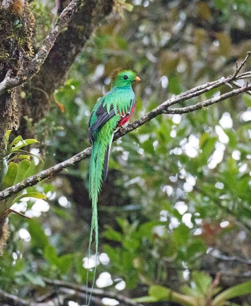Resplendent quetzal by Karuma1970