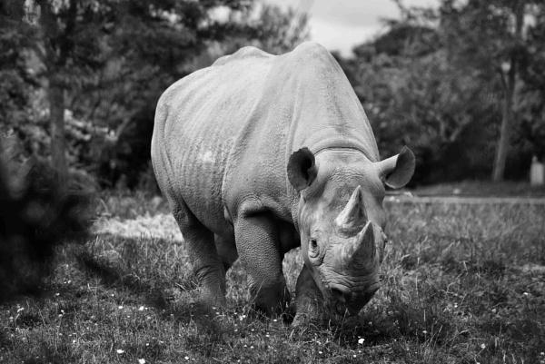 White Rhino by Fogey