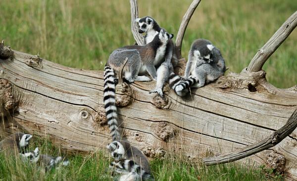 Lemur Family by Fogey