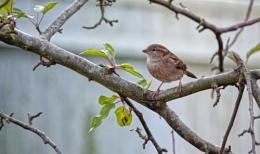 Humble Sparrow.