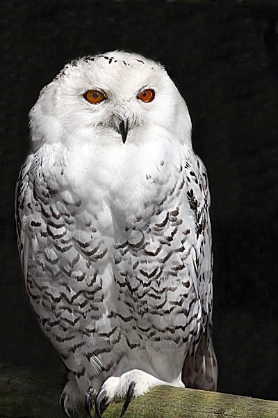 Snowy Owl by bobpaige1