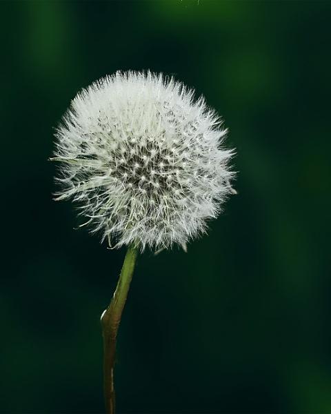 Dandelion by peter53