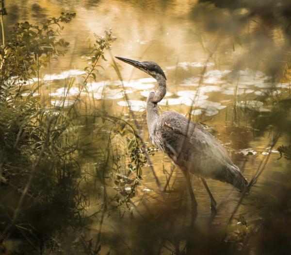 Golden Heron by Alain