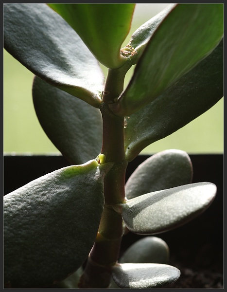 Money Plant by Morpyre