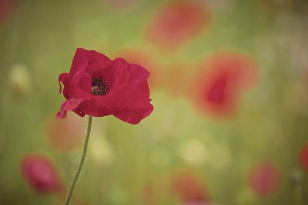 Poppies by Backabit