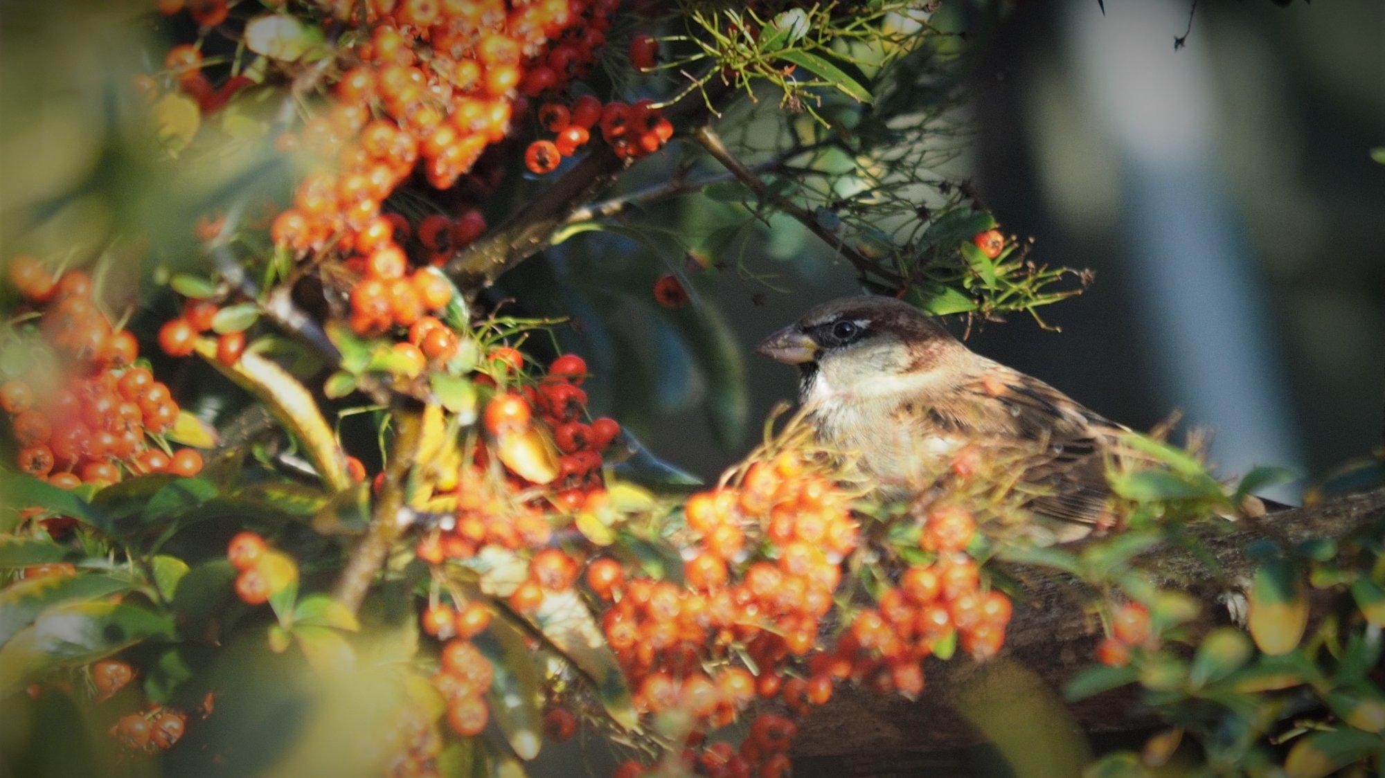 Sparrow winter berries