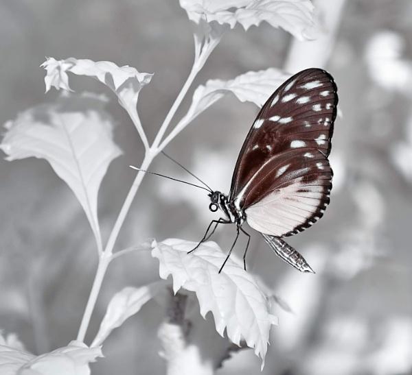 Butterfly by Adee