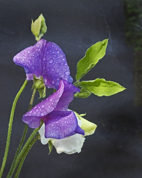 sweet pea after rain by silverthorn1935