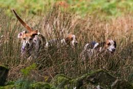 Eskdale hounds