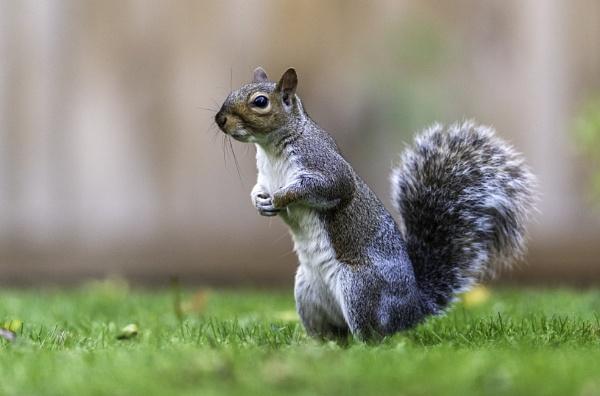 Back Garden Grey Squirrel by AMS1