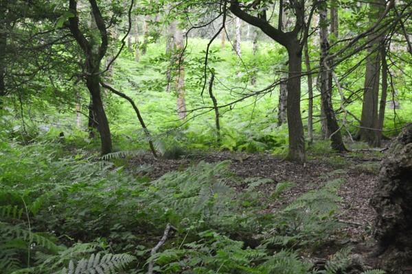 Ashridge Ancient Forrest by peterthowe