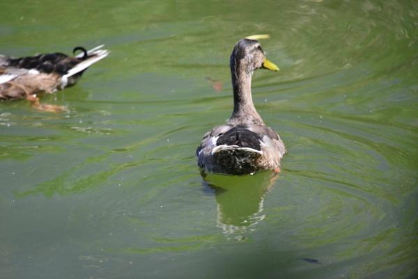 Greylag Goose by peterthowe