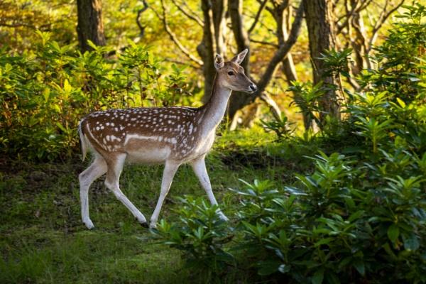 Fallow Deer Doe - Mull by richmowil