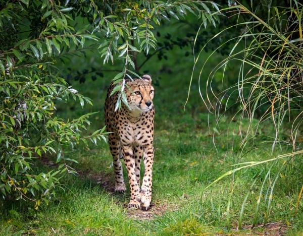 A Stunning Cheetah by bobelle