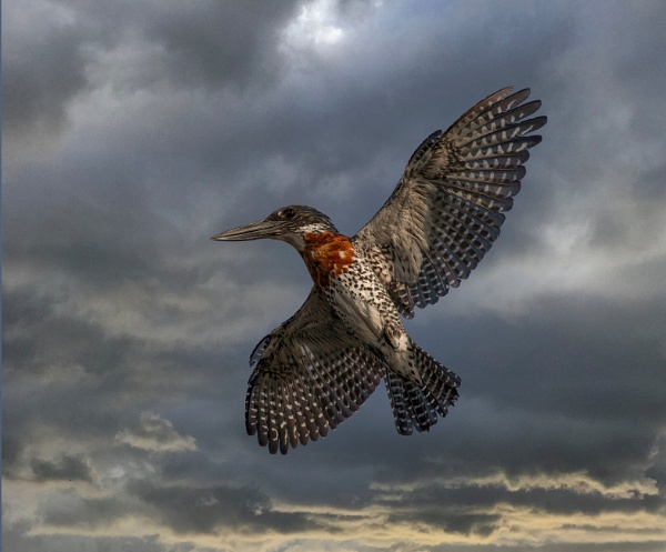 Giant Kingfisher in flight by esoxlucius