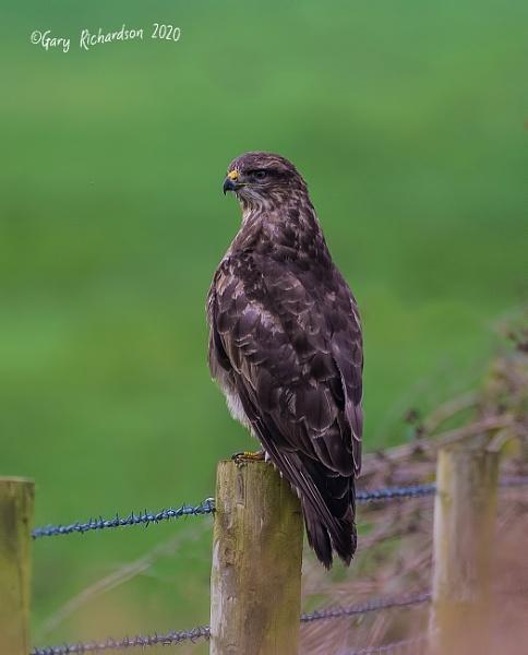 common buzzard by djgaryrichardson