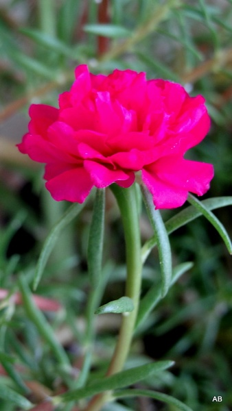 ""\"""" LITTLE ROSE """" by abssastry""338|600|?|en|2|b03bc0073d95fef325920af469c4e688|False|UNLIKELY|0.2804155945777893