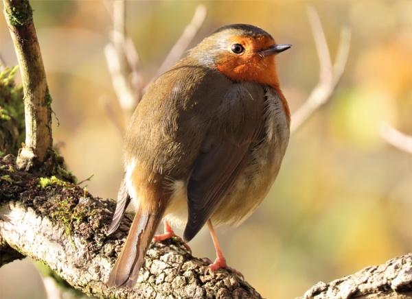 Robin by JanOByrne