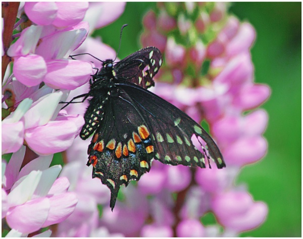 An Eastern Black Swallowtail  (Papilio polyxenes)  (best viewed large) by gconant