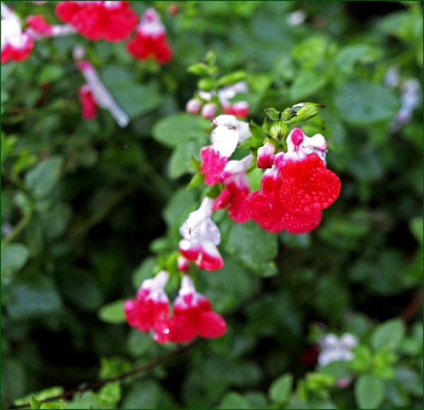 Salvia Hot Lips by JuBarney