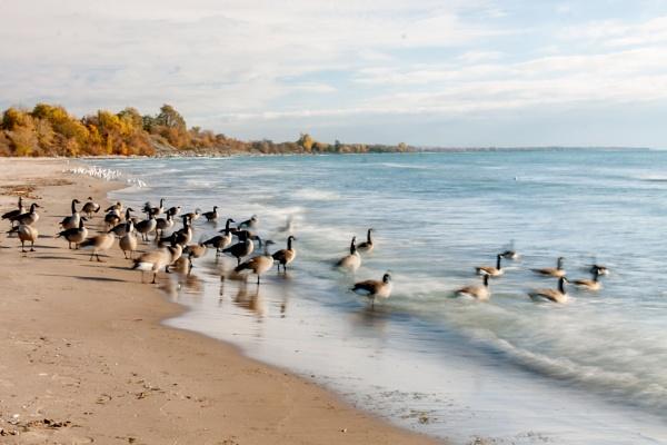 Canada Goose by manicam