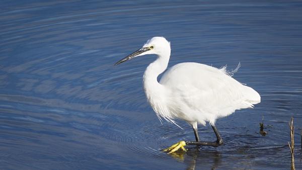 Egret by pauljt