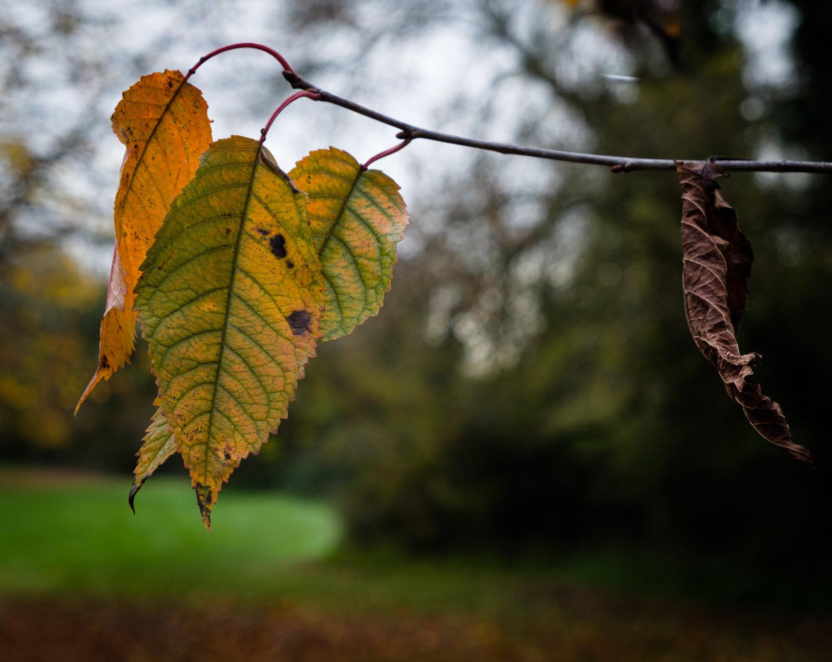 Autumnal Leaf 4