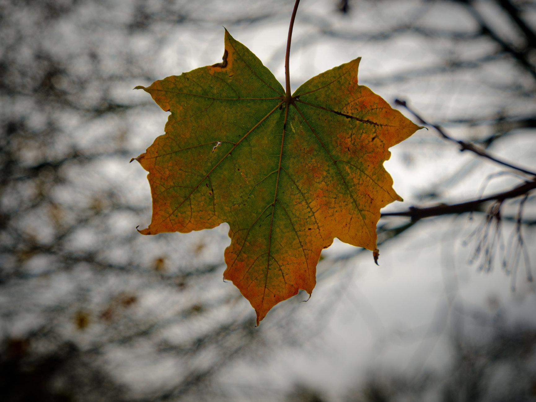 Autumnal Leaf 5