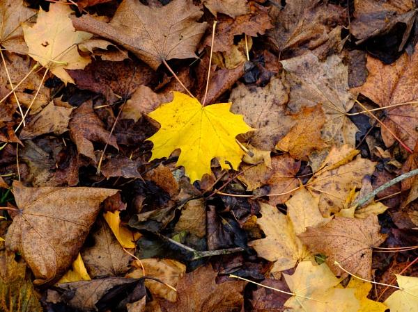 Autumnal Leaf 7 by Nikonuser1