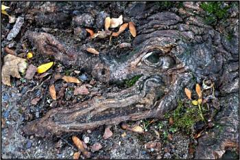 the crocodile root