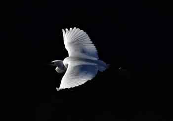 Little egret catching light