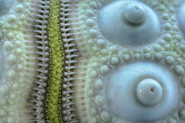 Sea Urchin Shell by iangilmour