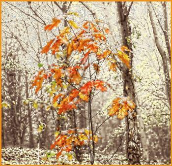 Snowy Autumn Leaves.