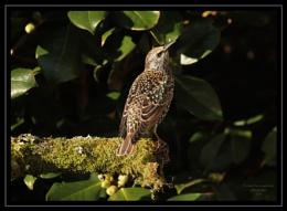 Posing Starling