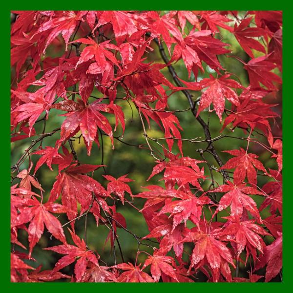 Autumn Acers by Bore07TM