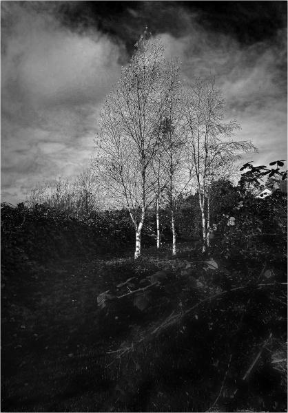 Silver Birches by AlfieK