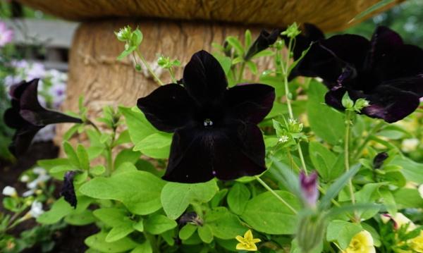 Black petunia by SauliusR