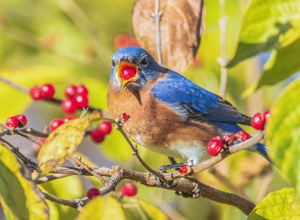 Eastern Bluebird by TDP43