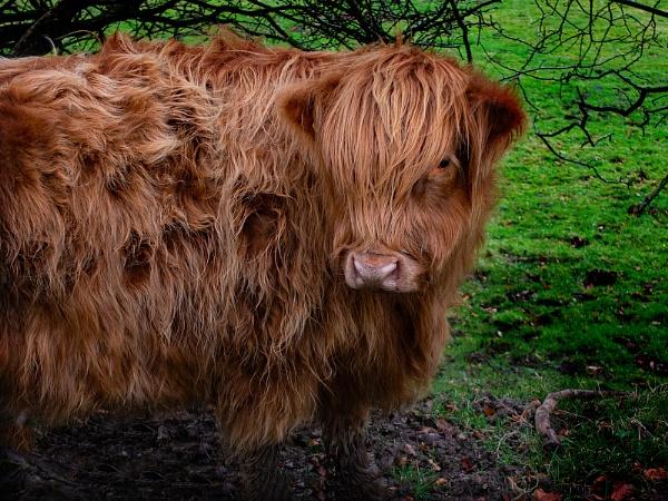 Shaggy Cow by terra