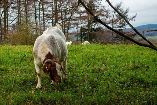 Goat by terra