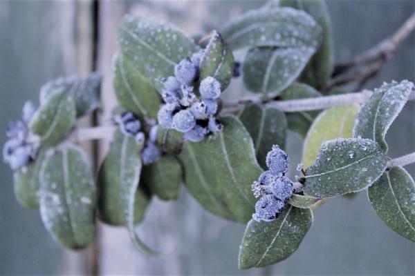 Frost on the honeysuckle fruit by helenlinda