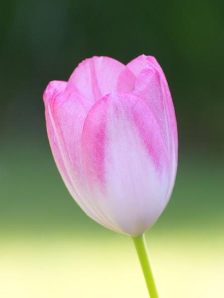 Pink Tulip by simbastuff