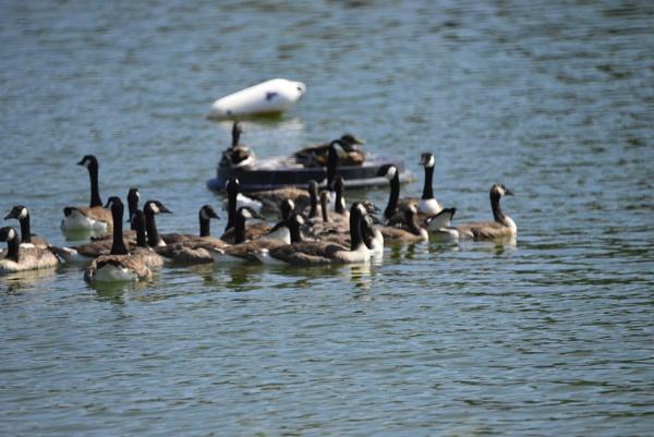 Ducks by peterthowe