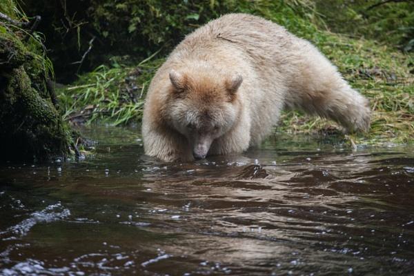 Spirit Bear in a stream by rontear