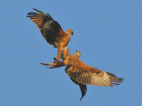 Kite Fight... by TerryMcK
