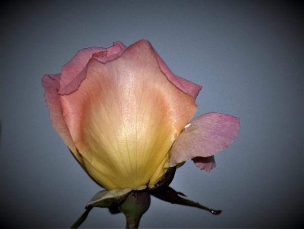 The last Rose by ELLISON58